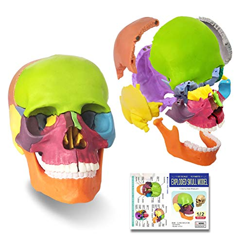 2021 Newest 15 Parts Palm-Sized Anatomy Exploded Skull Model,Detachable Mini Human Color Medical...