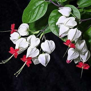 CER0T Egrow 20Pcs Clerodendrum thomsonae Balf Seeds Rare Flower Garden Bonsai Seeds