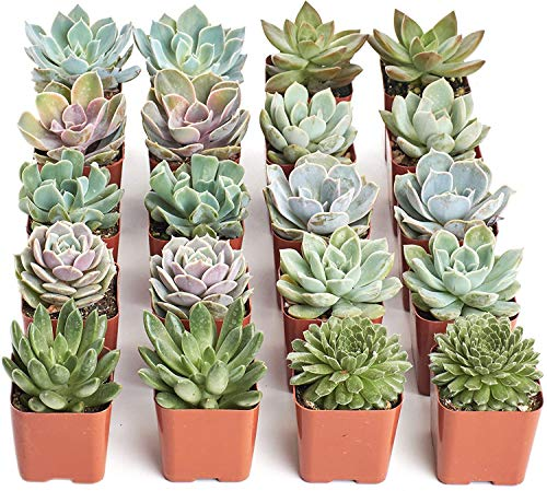 Shop Succulents | Radiant Rosette Collection | Assortment of Hand Selected, Fully Rooted Live Indoor...