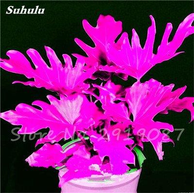 De nouvelles semences 100 Pcs Mixed Philodendron Graines couleur parfaite Plantes d'intérieur Anti radiations Absorber arbre poussière Jardinerie Bonsai 5