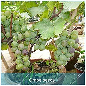 ZLKING 50 Pcs chinois raisin Bonsai Fruit Graines doux et délicieux frais non-OGM organique Facile à cultiver les semences végétales