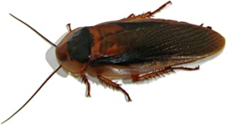 Adult Dubia Roaches 20 Males