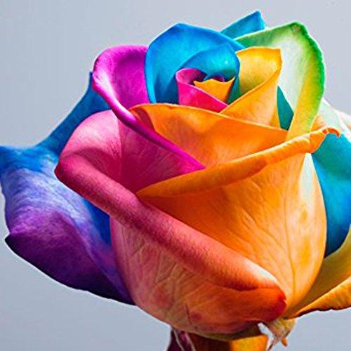 Begorey Garten-20 stück Rosensamen Edelrose Blumensamen Regenbogen Rose Bunte Blumen Samen für Ihr Garten Balkon Lange Blütezeit winterhart