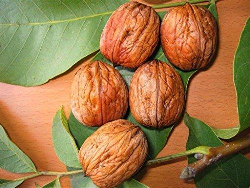ALBERO DI NOCE -JUGLANS REGIA -HIMALAYANO SIMILE - pianta vera da frutto da esterno Ø 19 cm - h 150 cm