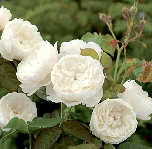 'William & Catherine' -R-, Englische Rose (David Austin) in A-Qualität Wurzelware