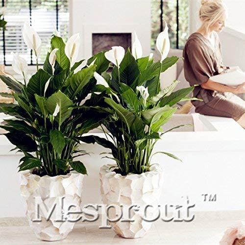 100 pcs / sac, graines Spathiphyllum, balcon en pot, la plantation est simple, le taux de bourgeonnement de 95%, l'absorption de rayonnement, couleurs mélangées