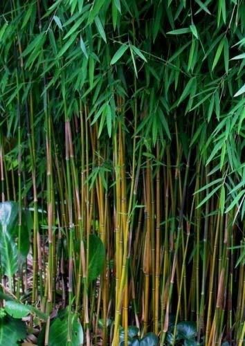 100 + Negro fresco de bambú Semillas (Fargesia Sp Jiuzhaigou 4) Hardy
