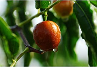 Ziziphus Mauritiana Indian Jujube Tree Rare Tropical Seeds MX02