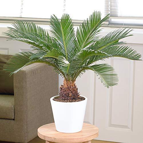 Cycas Revoluta - Sagoutier | Superbe Plante d'intérieur à Vendre | 30-40 cm en Pot