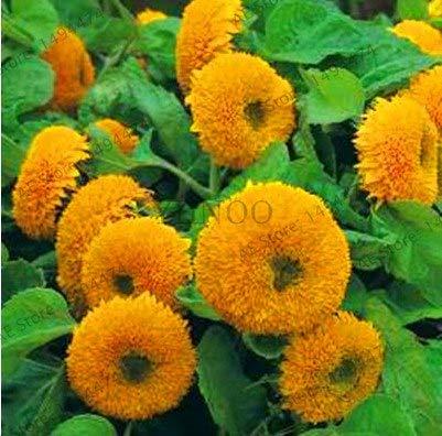 Bloom Green Co. Gran promoción!Flores de girasol enano, plantas ornamentales, plantas en maceta Bonsai Helianthus Annuus plante para jardín balcon: Verde