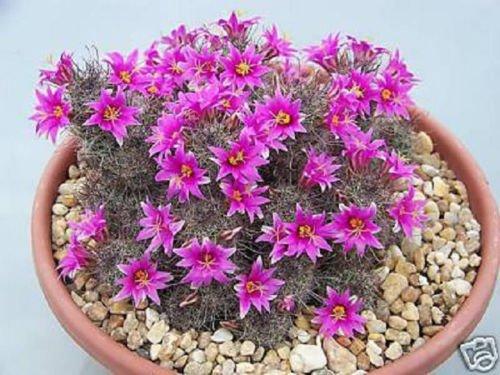 Mammillaria mazatlanensis coussin exotique floraison rare graines de cactus 100 SEEDS
