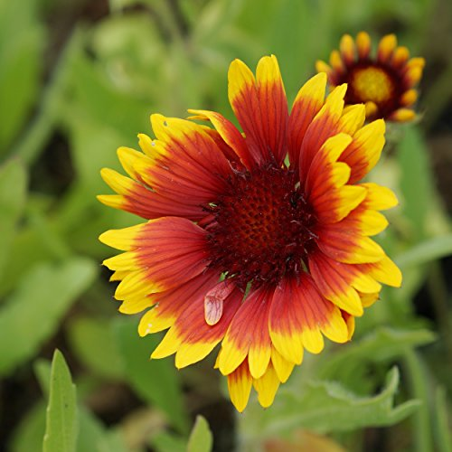Blumixx Stauden Gaillardia x grandiflora 'Kobold' - Kokardenblume, im 0,5 Liter Topf, rot mit gelb blühend