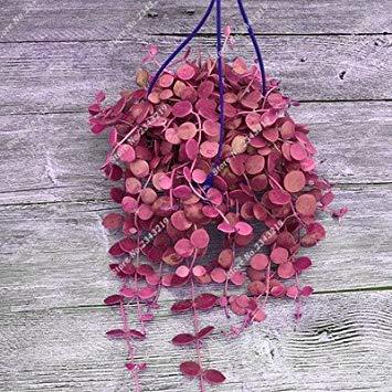 Vista 14: Plantes grimpantes Graines rares Parthenocissus Tricuspidata Graine Plantes ornementales pour le jardin Plantes quatre saisons Fleur 60 pièces/sac 14
