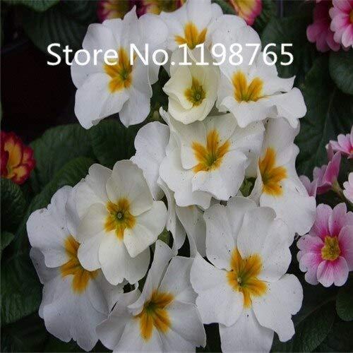 Blanc: Promotion à prix spécial! 300 Primrose Seeds 10 Kinds Emballés Mixtes, Graines De Fleurs Germination Élevée De Jardin De Bricolage Blooming P