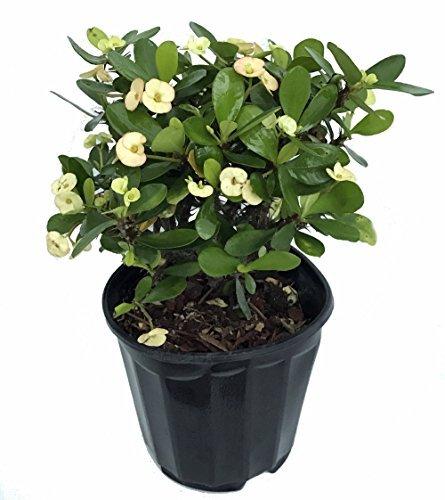 White Blush Crown of Thorns - RARE - Euphorbia - 6' Pot