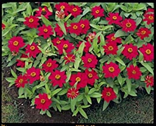 Zinnia Profusion Cherry Annual Seed