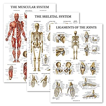 3 Pack - Muscle + Skeleton + Ligaments of The Joints Anatomy Poster Set - Muscular and Skeletal System Anatomical Charts - Laminated 18  x 27