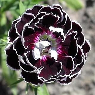 Best dianthus white lace Reviews
