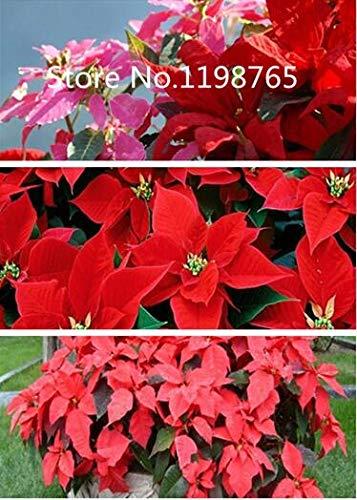 Multicolor: ¡Promoción de precio especial!100 semillas de flor de pascua 10 tipos de empaque mixto, semillas de flores de alta germinación jardín bricolaje floración perenne