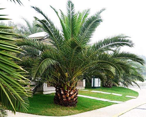 Ananas Palm 5 graines Phoenix canariensis arbre d'ornement