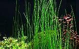 Tropica Eleocharis sp Nr.132D - Planta acuática para acuario