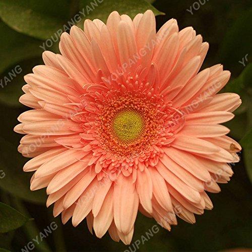 100 piezas Semillas Gerbera raras semillas de flor de la planta en maceta de Bonsai familiares Jardín colores mezclados perenne del crisantemo planta fácil de cultivar 10