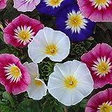 Flores Paisaje para cercas,Semillas de Flores perennes,Flores de Tres Colores, fáciles de Vivir en el balcón en Maceta-Color Mezclado_20grain