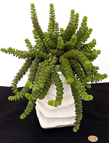 Crassol - Collar de jade, de maceta de cerámica alta, planta auténtica