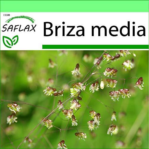 SAFLAX - Garden to Go - Gräser-Bambus-Herz-Zittergras/Jungfernhaar - 75 Samen - Mit Tontopf, Untersetzer, Anzuchtsubstrat und Dünger - Briza media