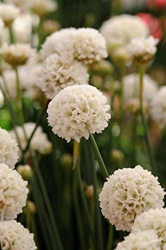 Pack x6 Armeria Pseudarmeria 'Ballerina wit' meerjarige tuin Plug planten