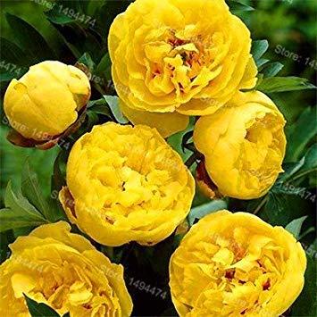 Vistaric 10pcs / sac mixte couleur pivoine graines Chinois Rose graines Arbre Pivoine Graines belle Décoration bonsaï fleur plante pour la maison jardin 8