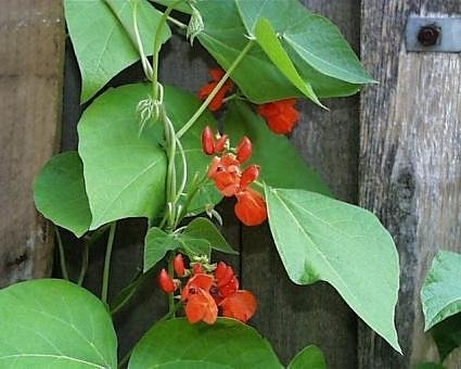 Scarlet Emperor Runner Bean Seeds