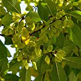 5 semillas de olmo chino reales redactar bonsai olmo para la siembra de semillas de mini jardín de su casa bonsai