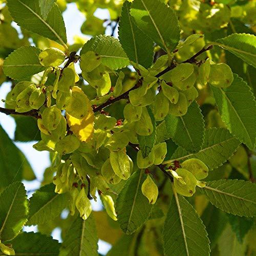 5 echte chinesische Ulme Samen Bonsai Ulme für zu Hause Garten Pflanzung Mini Bonsai Samen entwerfen