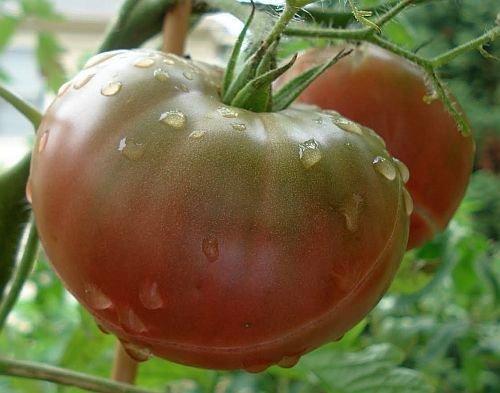 Tomate Black Krim - Tomate schwarze Krim - Tomaten Samen - 10 Samen