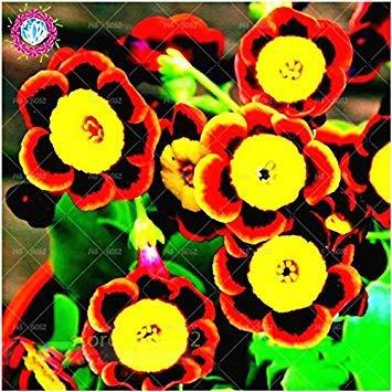 VISTARIC 18: plantes grimpantes graine rare Parthenocissus tricuspidata semences jardin plantes ornementales Four Seasons Flower 60 Pcs/sac 18