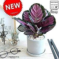 LAND PLANTS 観葉植物 カラテア ロセオピクタ(ロージー) セメント シリンダー型 陶器鉢 鉢植え