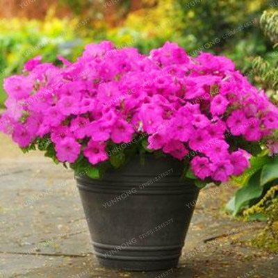 Escalade Pétunia Graines de fleurs Jardin Bonsai Balcon Petunia hybrida semences de fleurs de 20 espèces végétales Bonsai facile à cultiver 100 Pcs 18