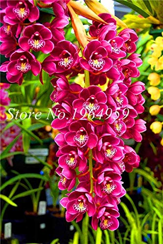 Shopmeeko Graines: Bonsai Multi-couleur de la fleur d'orchidée Fleurs 100 Pcs Potted/Mixed Bag Cymbidium Faberi Balcon Plante en pot pour jardin: 7
