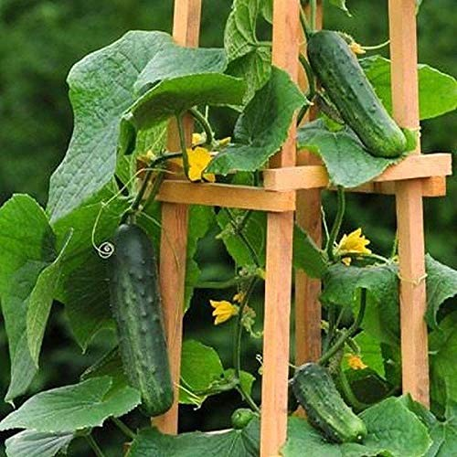 Patio Snacker F1 Hybrid Cucumber Seeds (50 Seed Pack)