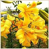 Bonsai del patio del jardín,Bulbo lirio,Planta decorativa mágica,Flor increible-12 Bulbos