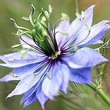 100+ Nigella Blue Love in The Mist Flower Seeds/Miss Jekyll Light Blue/Annual