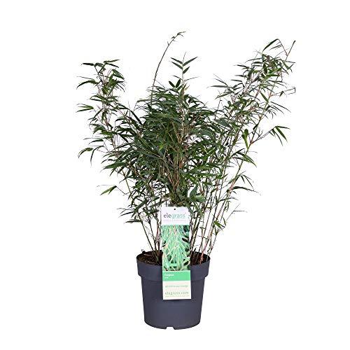 Elegrass - Graminée Bambou - plante de jardin en pot de cultivateurs ø 23 cm - hauteur 70-100 cm - Fargesia rufa