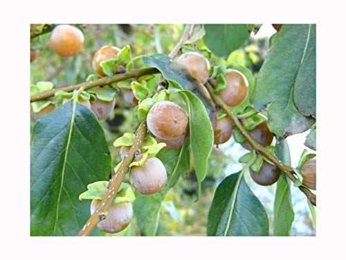 Hardy Edible Fruit, Date Plum Tree, DIOSPYROS Lotus, Sweet Fruits, 25-30cm Plant in a 8cm Pot