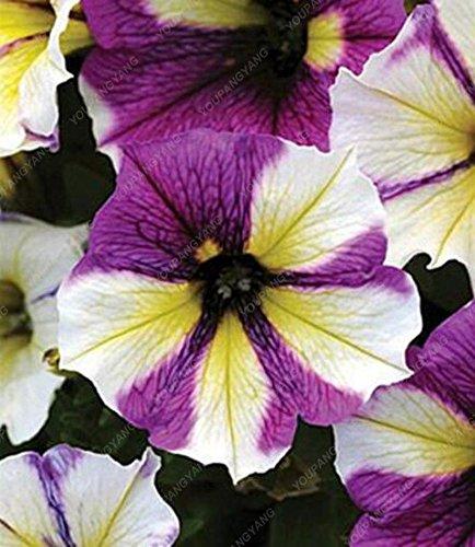 Date limite de 100 graines/Sac Petunia Graines Multicolor Petunia hybrida Jardin Accueil Bonsai Fleur matin Glory Graines multicolor