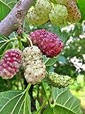 GELSO-MORUS SANGUE LATTE- SANGUE LATTE- albero da frutto da esterno pianta vera...