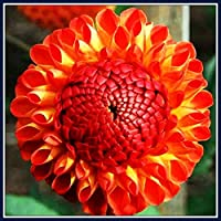 ダリア球根*多年生のダリア球根,家の植栽,花壇,花のパスや前庭に適しダリア,消費者に人気の見栄えの良い優しい花の根茎