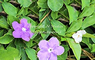 5 Seeds Brunfelsia pauciflora Floribunda Dwarf Plant Variety Yesterday Today and Tomorrow Seeds Tropical Flower 3 Colors One Plant by Alyf Market