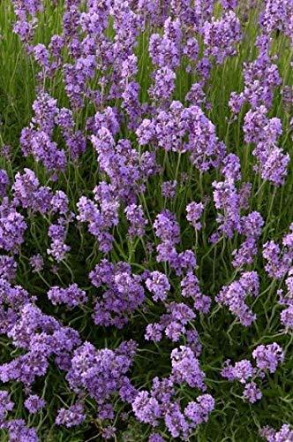 Lavendel 12Stück Dwarf Blue Echter Lavendula Hecke, Bodendecker, T9x9