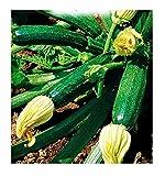 Semi Per Coltivare Zucchino Storr'S Green Cucurbita Pepo Zucchine Semi Per Coltivare Agricoli Zi002 65 Sementi Circa Alta Qualità